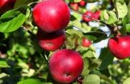 बदलते मौसम के कारण हिमालय में सेब की दो प्रजातियाँ लुप्तप्राय