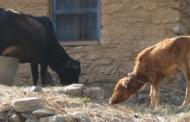 जानवरों के स्वास्थ्य से जुड़ा पर्व खतड़ुवा