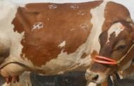 कुमाऊँ में गोवर्धन पूजा के दिन गायों को लगाते हैं थाप