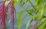 रूखे-सूखे में भी उगने वाली फसल चुआ