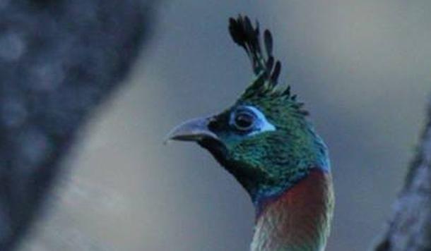 उत्तराखण्ड का राज्य पक्षी मोनाल
