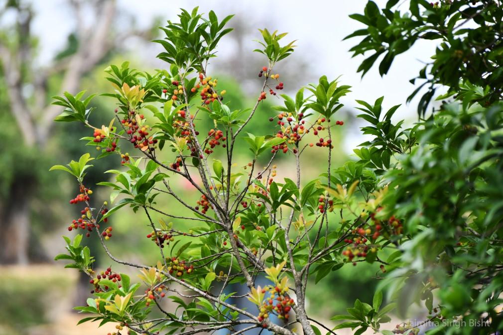 Kafal Himalayan Wild Fruit