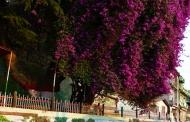 अल्मोड़ा के दो पेड़ों का खूबसूरत मोहब्बतनामा