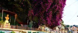 Almora Mall Road Bougainvillea