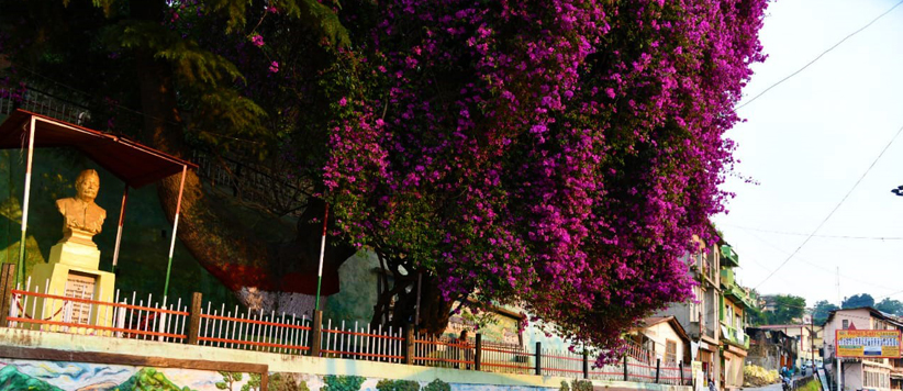 Almora Mall Road Bougainvillea