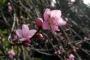 पहाड़ों में क्वैराल का फूल