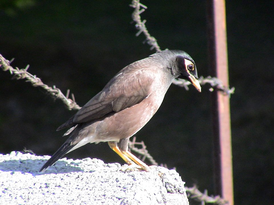 Sintola Bird in Uttarakhand