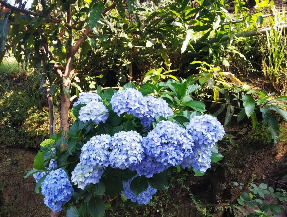 Japanese Hydrangea in Almora