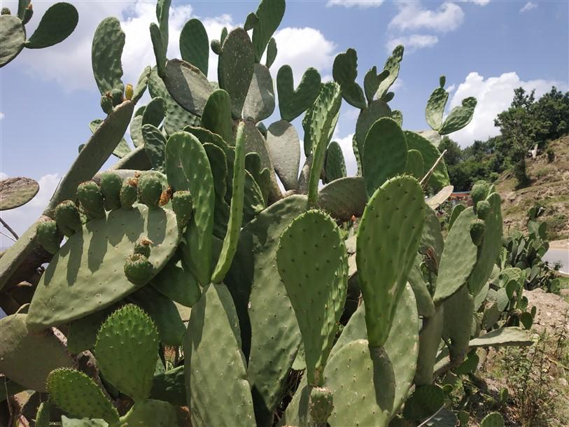 Prickly Pear Cactus Uttarakhand Himalayas