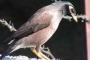 सिटोला : पहाड़ों में अपनी अदाओं के लिये लोकप्रिय पक्षी