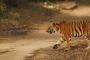 इंटरनेशनल टाइगर डे: 442 बाघों के साथ उत्तराखंड तीसरे स्थान पर