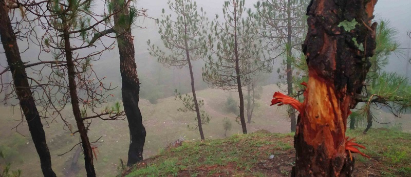 फ्रेंड ऑफ विंटर कहा जाने वाला चीड़ जंगलों का दुश्मन कैसे बना