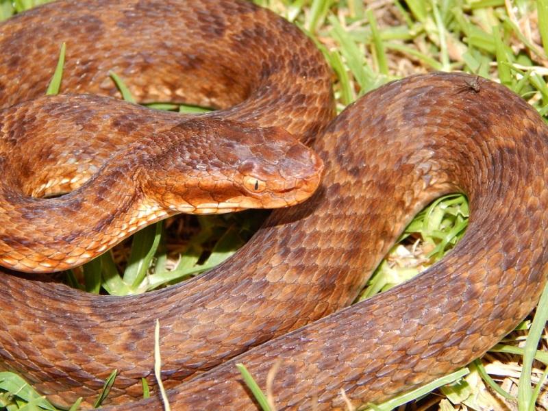 Species of snakes in Mukteshwar