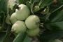 हल्द्वानी में सेब के पेड़ पर फल लगना विशेषज्ञों के लिए शोध का विषय हो सकता है