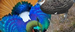 Unbelievable Photos of Monal Pair
