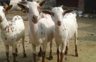 हल्द्वानी में बकरी का दूध 800 रुपया प्रति लीटर