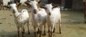 Goat Milk in Haldwani