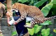 कुकुरी बाघ कैसे बनता है आदमखोर बाघ