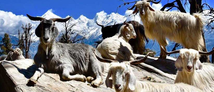 Goats on Hill
