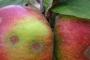 सरकारी लापरवाही से उत्तराखंड में 80 प्रतिशत सेब ख़राब और सरकार मना रही है एप्पल फेस्टिवल