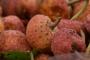पहाड़ियों का ही नहीं भालू का भी प्रिय फल है बमौर