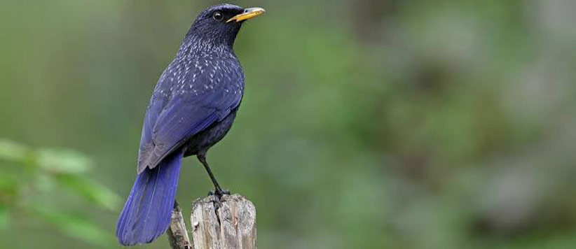 Blue Whistling Thrush called Kalchudiya in Kumaon