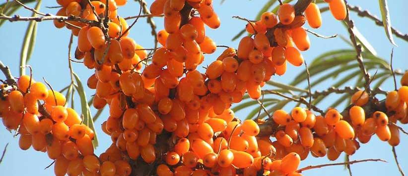 पहाड़ों में पाया जाने वाला फल जिसे चंगेज खां अपने सैनिकों को उनकी याददाश्त बढ़ाने के लिये खिलाता था