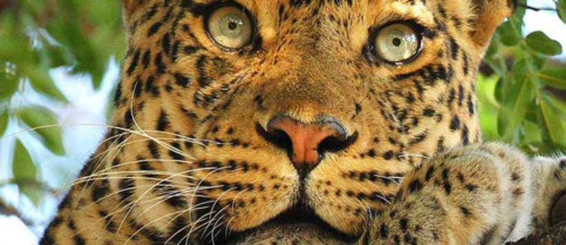 फ्वां बाघा रे वाले खतरनाक नरभक्षी बाघ की असल रोमांचक दास्तान
