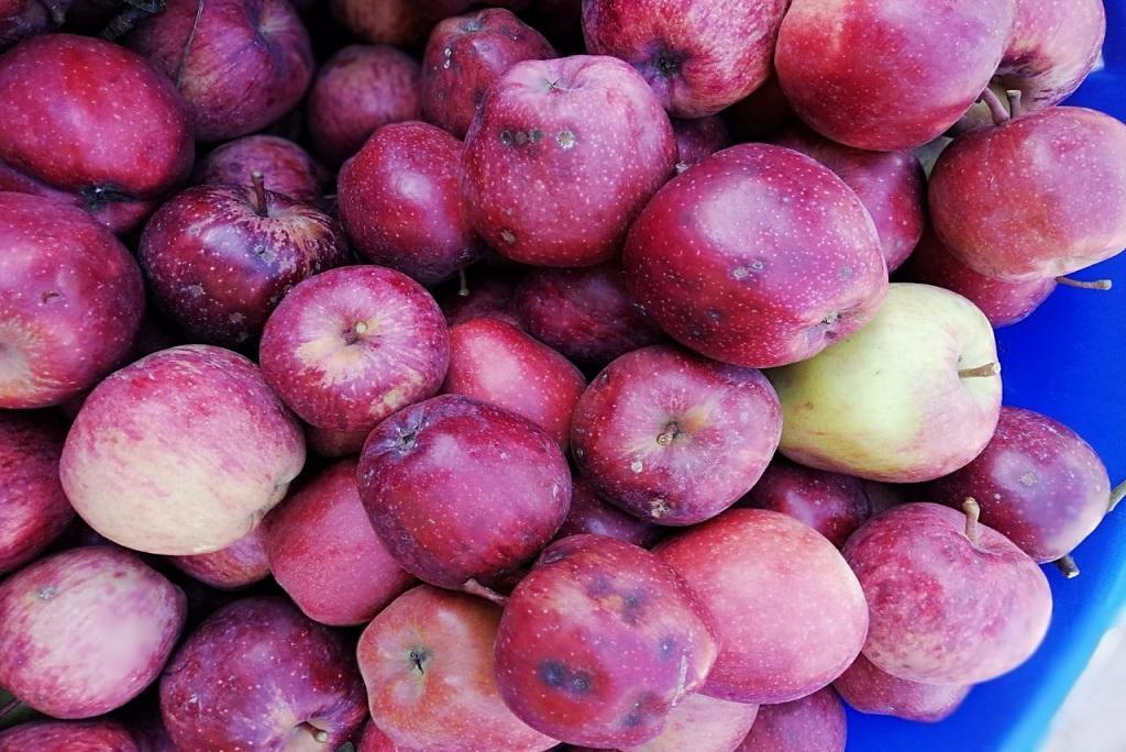 Apple of Uttarakhand suffers from Disease