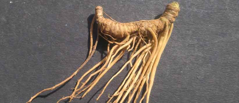 Samyo Himalayan Herbs