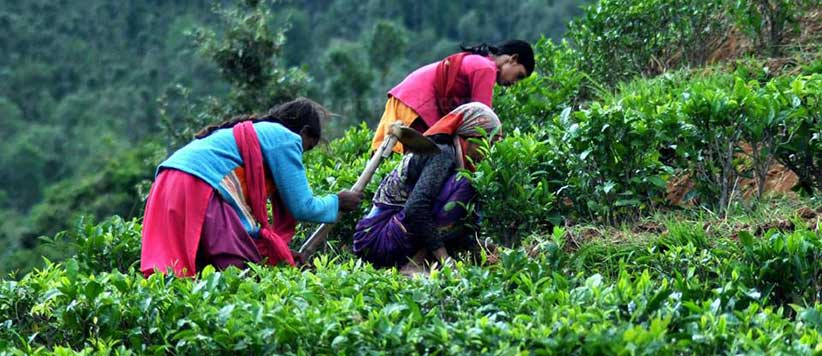 जब कलकत्ता से दो हजार चाय के पौधों की पहली खेप कुमाऊं पहुंची