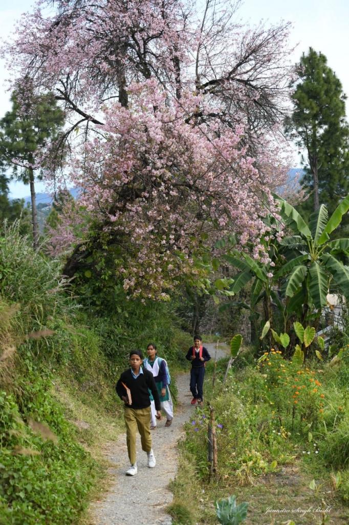 Cherry Blossom in Kasaradevi