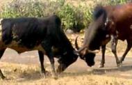 महाराष्ट्र की डेमोक्रेसी और अमरू मडवाण के बैल