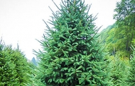 क्रिसमस ट्री : सिर्फ पेड़ नहीं, परम पिता परमेश्वर में हमारी आस्था व विश्वास का प्रतीक