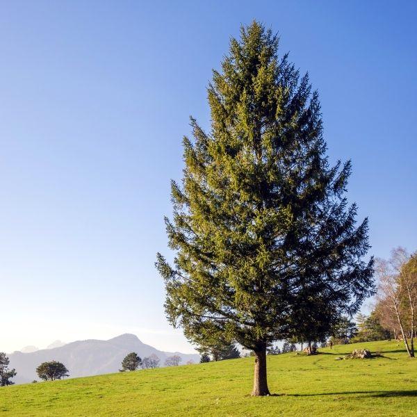Christmas tree Deven Mewari