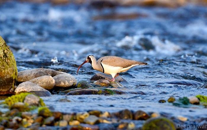Ibisbill Bird Corbett Park