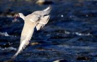 आइबिस्बिल पक्षी का रामनगर प्रवास