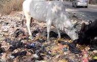 देश में गाय की राजनीति का फायदा किसने उठाया?