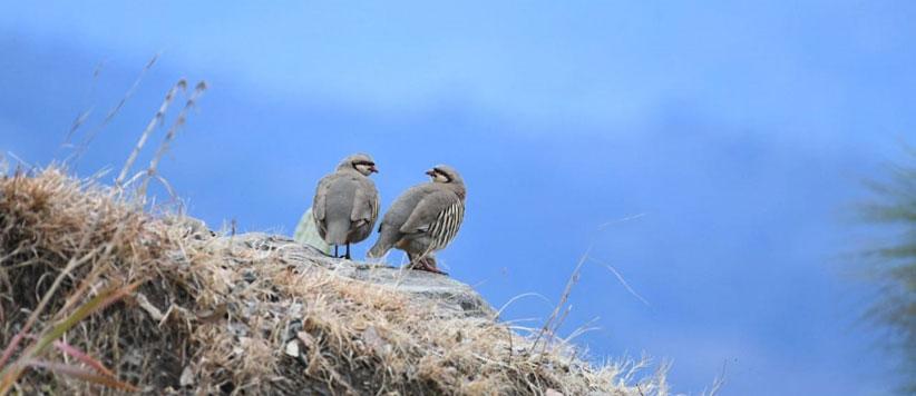 Chakor Bird in Almora Uttarakhand