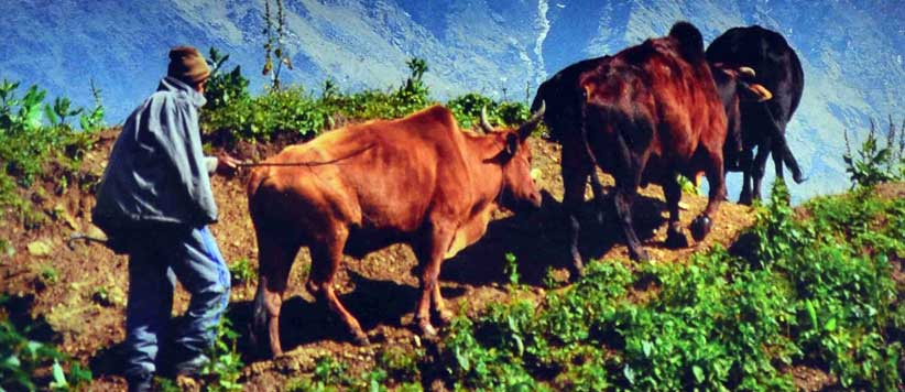 Life of Oxen in the Mountains