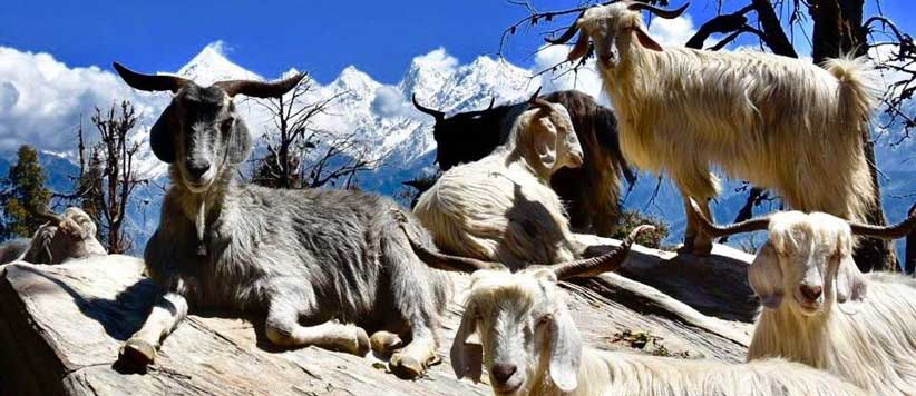 Himalayan sheep