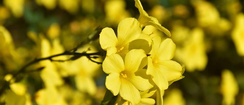 फूल बन कर खिलने वाली पर्वतपुत्री  है फ्यूंली