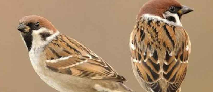 Story of domestic sparrow