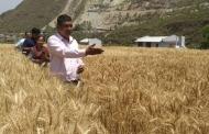 गेहूँ की नई नस्ल पैदा कर देने वाले उत्तराखण्ड के किसान योद्धा नरेन्द्र सिंह मेहरा से मिलिए