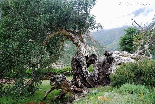 Traditional Forest Conservation Uttarakhand, Bhoj Tree, Bhoj Patr, Bhojpatr Tree