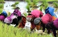 पिथौरागढ़ चम्पावत में धान की कुछ किस्में