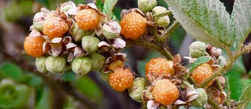 पहाड़ में जंगल-जंगल मिलते कंद मूल फल