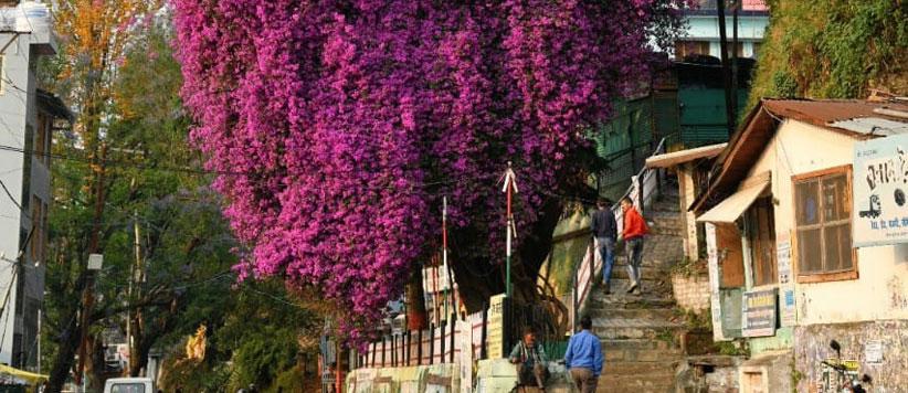 अल्मोड़े के उस फूलों वाले पेड़ से जुड़ी हैं हम-आप जैसों की कितनी ही स्मृतियाँ