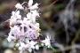 मासी: ऊंचे कैलास में खिलने वाला हिमालय के देवी-देवताओं का प्रिय फूल
