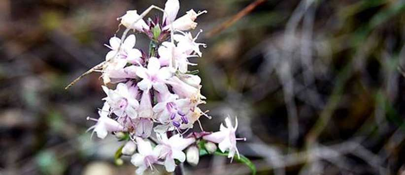 Jatamansi Masi Flower of Uttarakhand